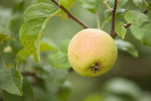 Vykort apple