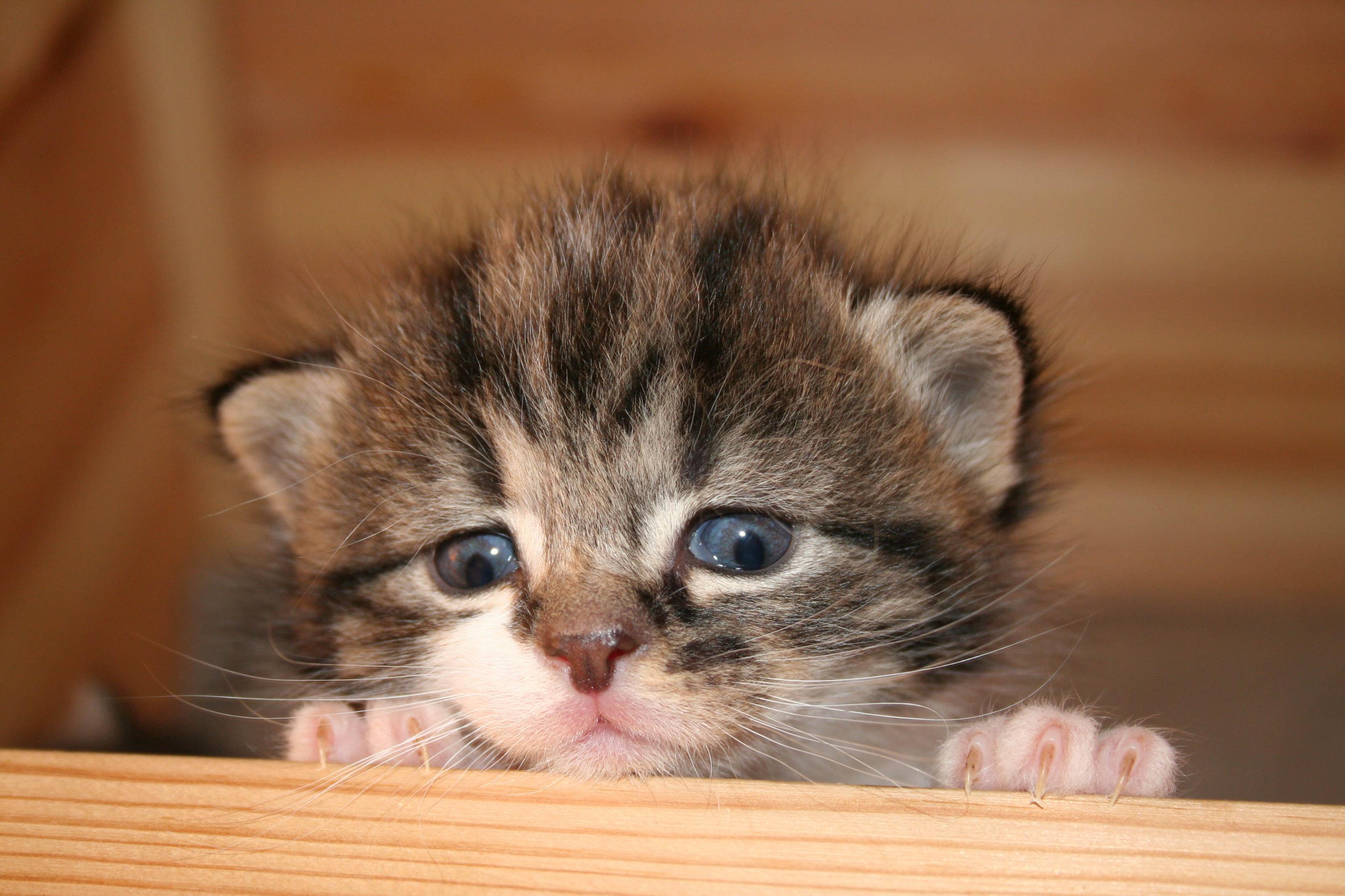 Gratis bilder p kattung katter for Weihnachtsdeko bilder gratis