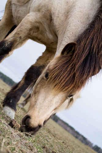 Gratisbild på Islandshästar