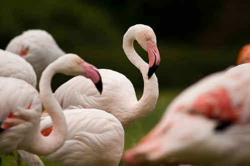 Gratisbild på Flamingo