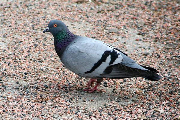 gratis bilder på duva fåglar