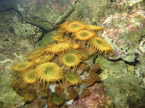 Vykort anemoner