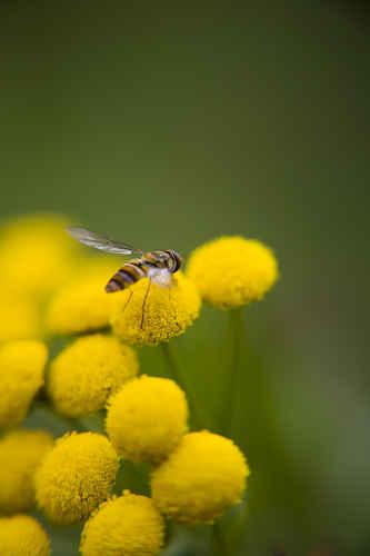 Vykort blomfluga