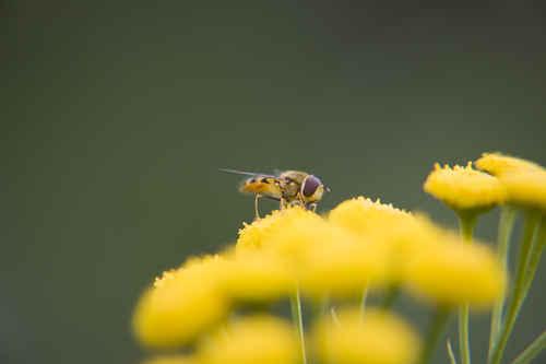Vykort blomfluga2