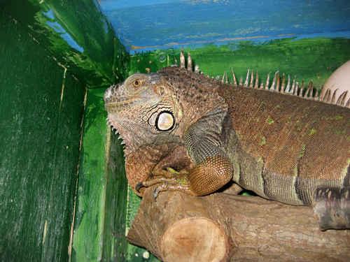 Vykort iguana