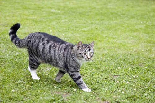 Vykort katt_i_graeset