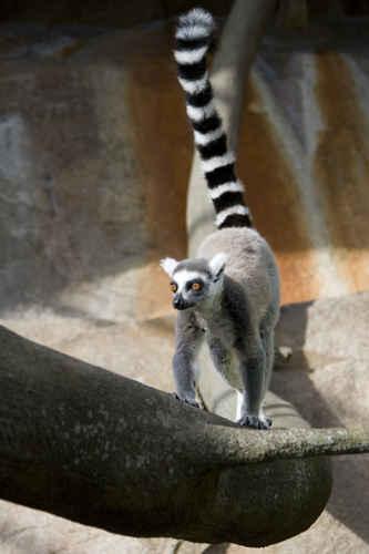 Vykort lemur_klaettrar