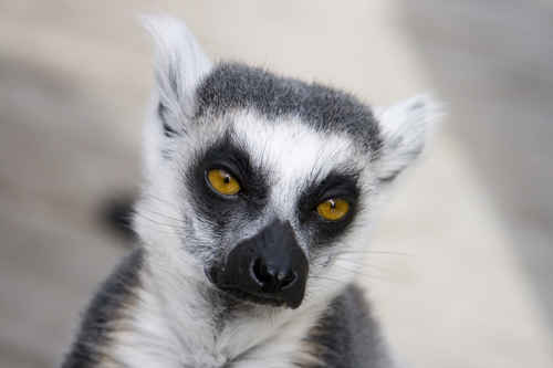 Vykort lemur~0