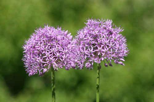 Vykort lila_blommor