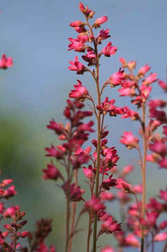 Vykort rosa_blommor~0