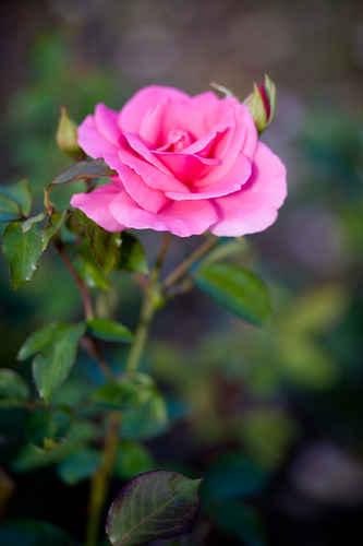 Vykort rosa_ros02