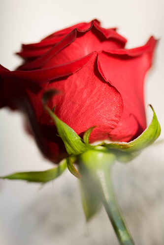 Vykort rosarosor