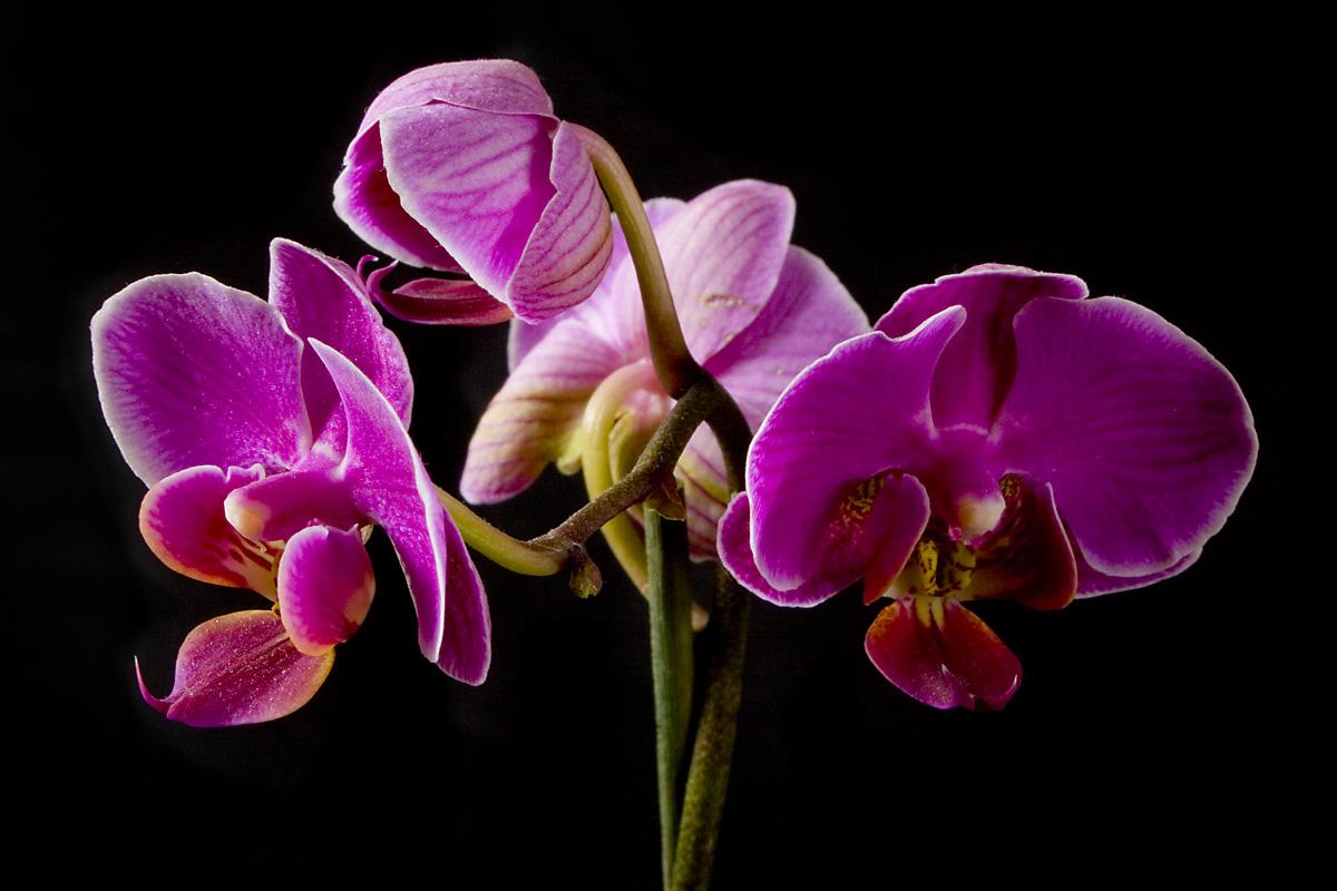 gratis  bilder orkide thai
