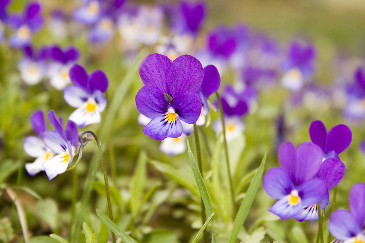Gratis bilder p styvmorsviol blommor for Weihnachtsdeko bilder gratis